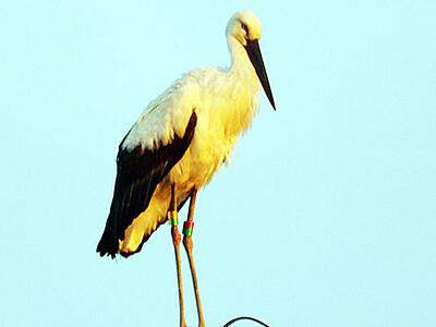 幸せの予感...  滑川に特別天然記念物コウノトリ飛来