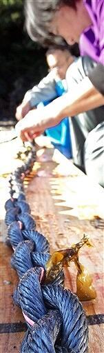 ロープに差し込まれたワカメの種苗=福井県小浜市矢代