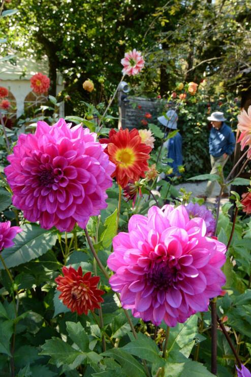 英国王立園芸協会のパートナーガーデンに認定される蓼科高原バラクライングリッシュガーデン=10月