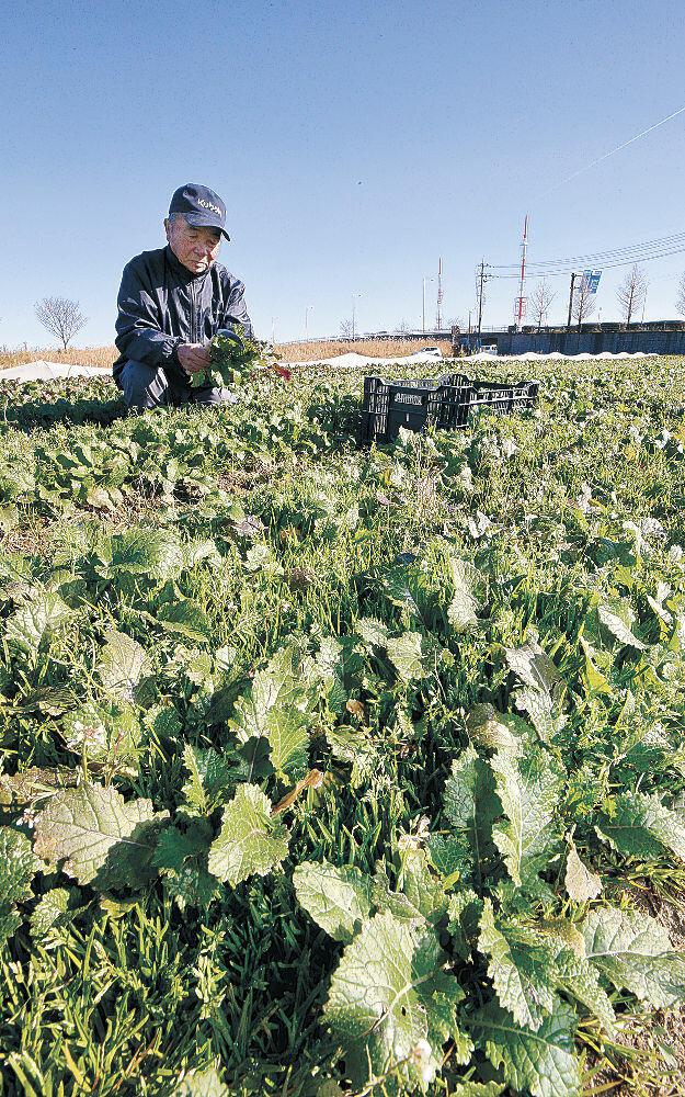 生産農家が2人態勢となった二塚からしな=金沢市佐奇森町