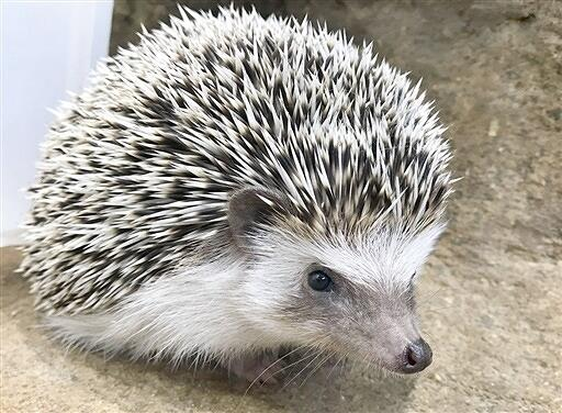 福井県福井市足羽山公園遊園地で飼育されているハリネズミ(同遊園地提供)