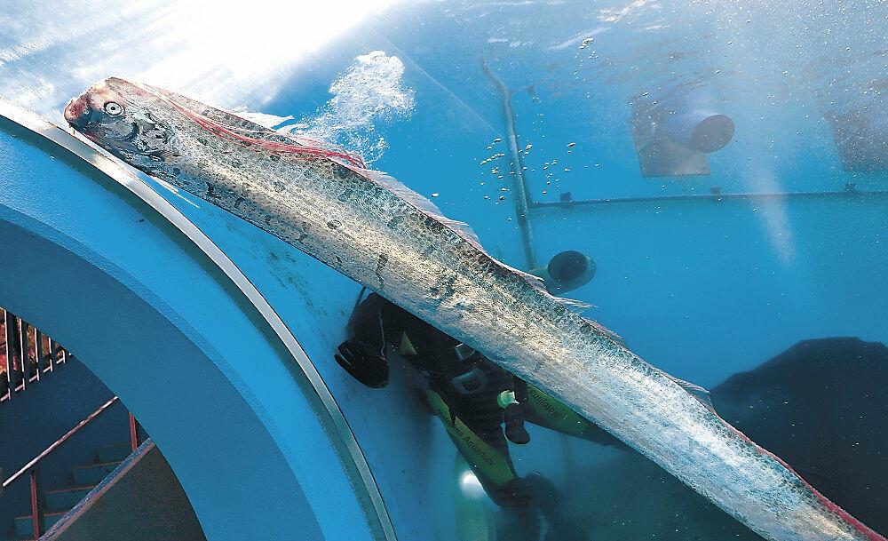 水槽を泳ぐリュウグウノツカイ=七尾市ののとじま臨海公園水族館
