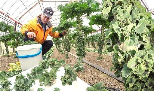 収穫が最盛期を迎えているプチヴェール=1月13日、福井県福井市大瀬町