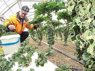 ビタミンCやカロテン豊富、葉野菜プチヴェール 福井で収穫ピーク