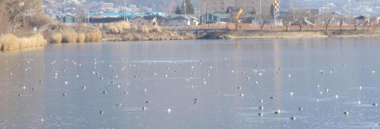 諏訪湖で14日に確認されたカンムリカイツブリの群れ(県諏訪地域振興局林務課提供)