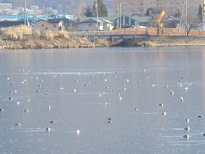 真冬の諏訪湖にカンムリカイツブリ 県が1788羽確認