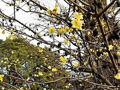 冬空に甘い香り ロウバイ見頃 福井・越前市