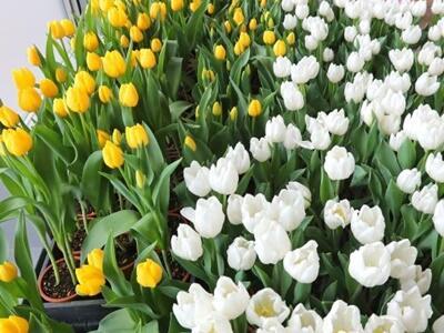 春先取り色とりどり アイスチューリップ展 長岡丘陵公園