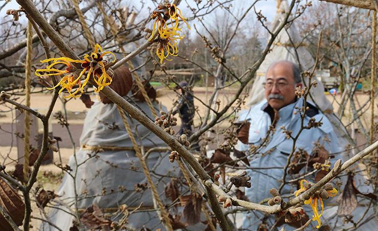 例年より約半月早く開花し始めたマンサク