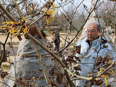 マンサクもう開花 県中央植物園、暖冬で最も早い記録