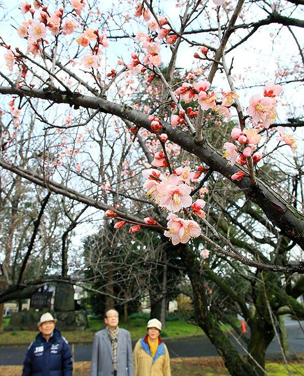 梅の花を見ながら散歩する人=馬場記念公園