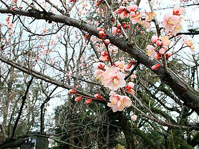 4月並み陽気 富山、梅もうすぐ見頃