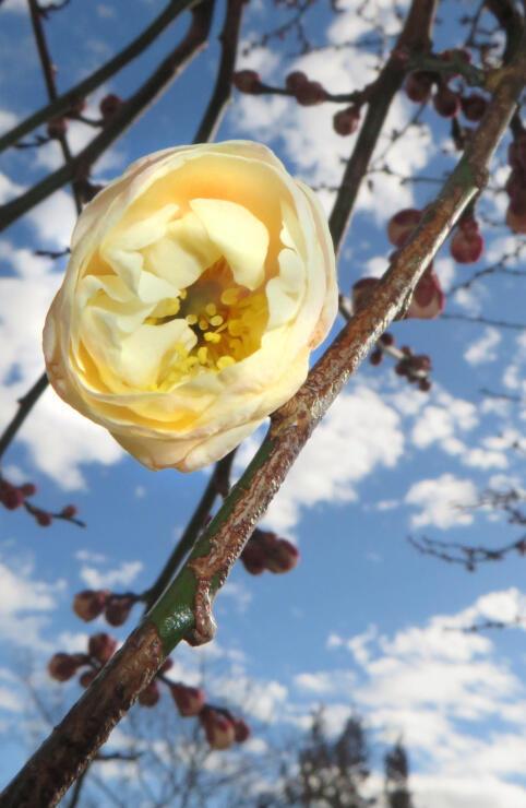 青空の下でほころび始めた白梅の木「善心光梅」=28日、飯田市