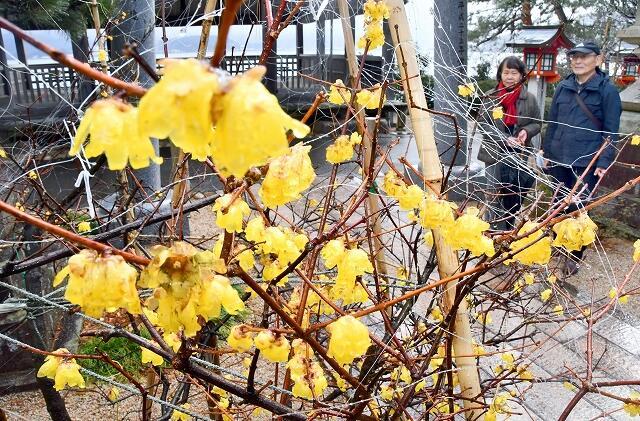 見頃を迎えたロウバイ。鳥に花をついばまれないよう糸で保護している=1月31日、福井県敦賀市常宮