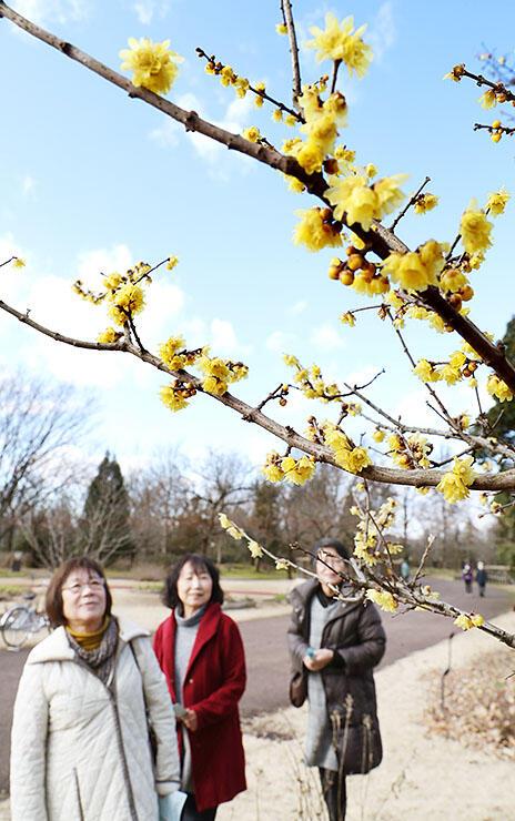 青空の下、黄色い花を咲かせるロウバイ=県中央植物園