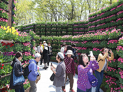 「花の大谷」協賛金を募集 となみチューリップフェア