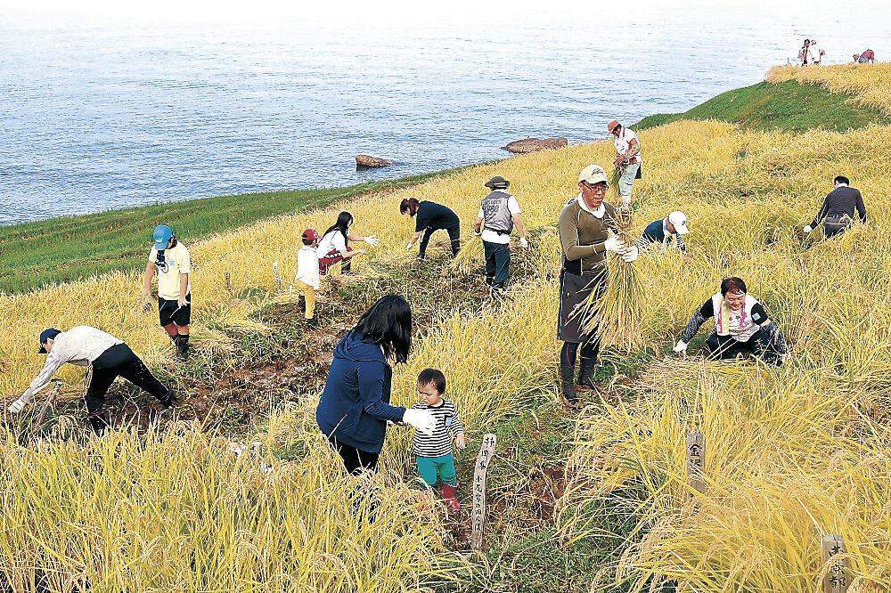 千枚田で稲刈りに汗を流す人々=2016年9月、輪島市の白米千枚田