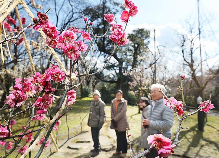 穏やかな日差しの下、色鮮やかに咲いた紅梅=高岡古城公園