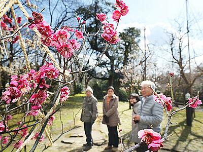 色鮮やか春の雰囲気 高岡古城公園の梅園