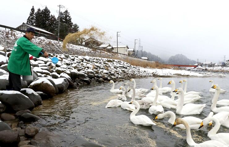 餌を求め岸辺に集まる白鳥=8日、三条市