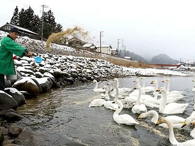 冬の使者 のんびりと 三条・五十嵐川 白鳥飛来ピーク