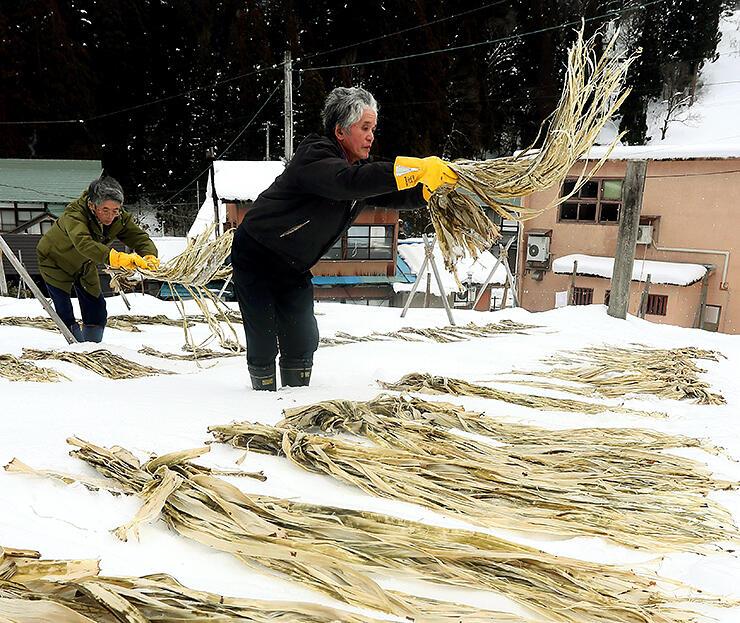 雪面に並べられたコウゾの束=南砺市東中江