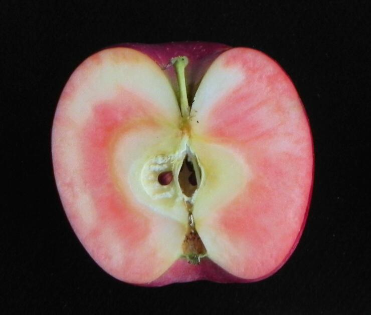 リンゴ長果34の断面(県農政部提供)