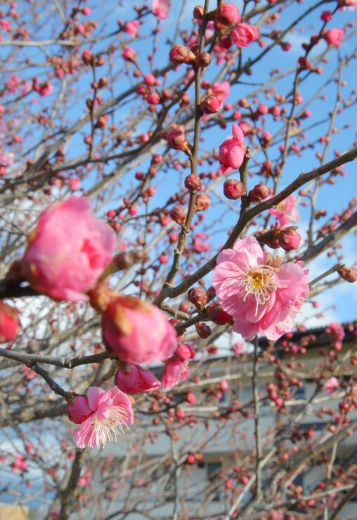 ほころび始めた米田公園の紅梅