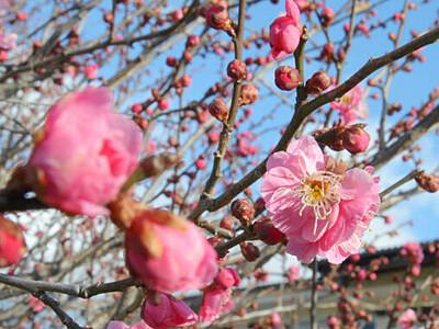 ほころぶ梅、甘い香り 諏訪の米田公園