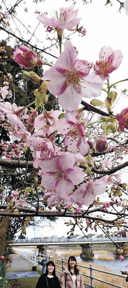 花を咲かせたカワヅザクラ=金沢市千日町