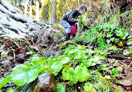 雪解け水が流れる沢で収穫される葉ワサビ=2月19日、福井県福井市間戸町