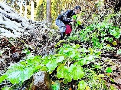 春告げる緑 葉ワサビの収穫始まる 福井市