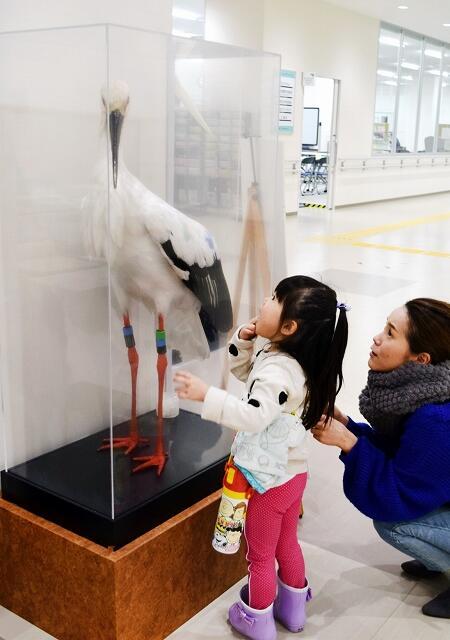 子どもたちの関心を集めているコウノトリ「唐子」のはく製=2月25日、福井県越前市の市民プラザたけふ