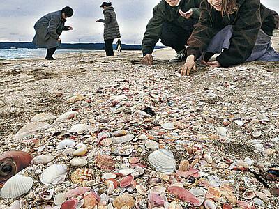 増穂浦、桜の季節 波打ち際に小貝の帯