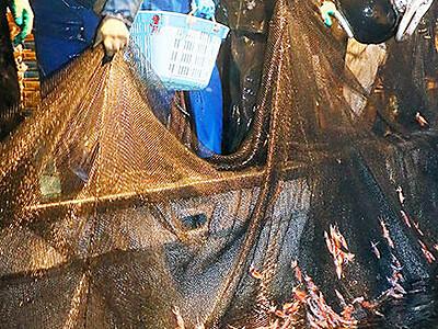 ホタルイカ漁解禁 初日365キロ 滑川