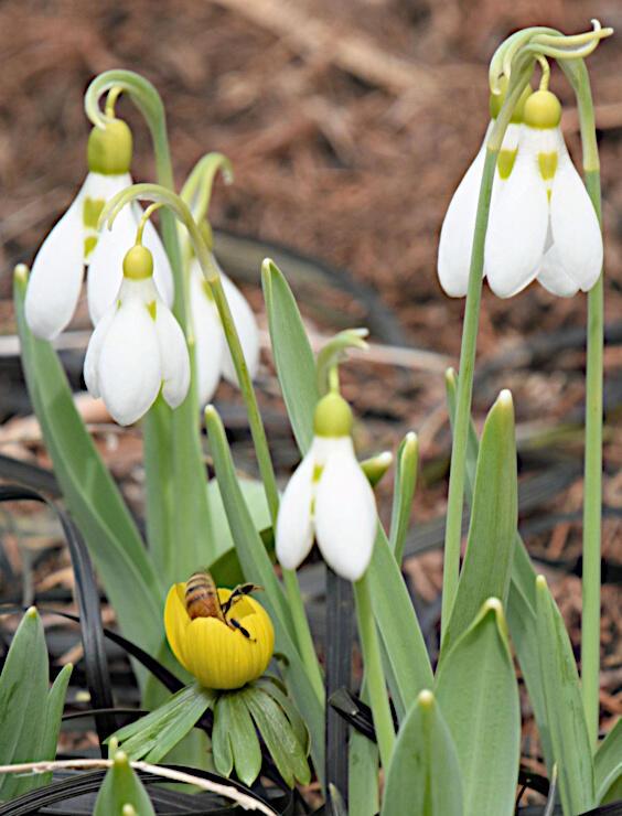 純白の花を咲かせたスノードロップ。手前のキバナセツブンソウにはミツバチが潜り込んでいた