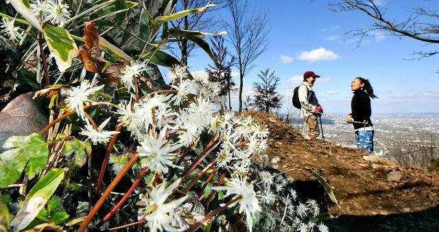 福井県の文殊山の山頂付近で白くかれんな花を咲かせているオウレン=3月6日