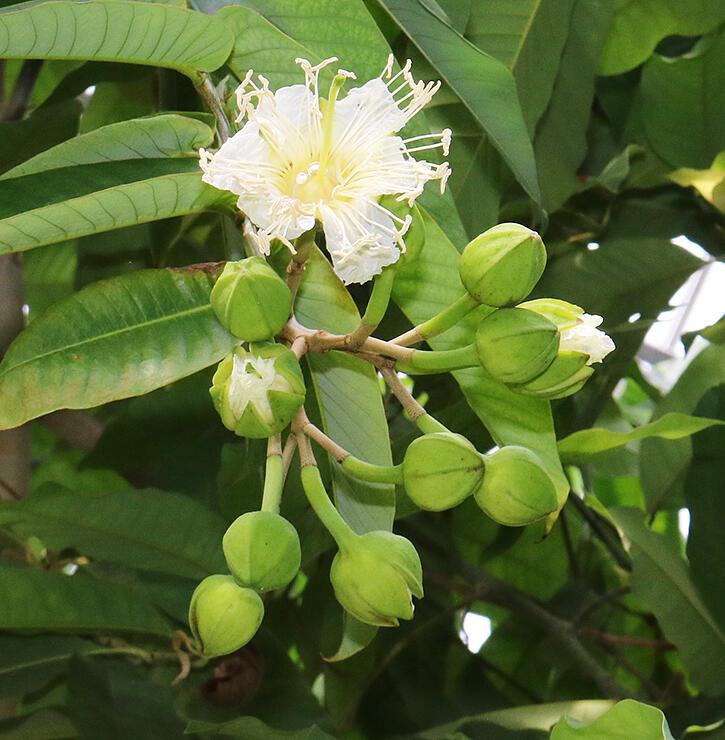 県中央植物園で初めて開花したハッポウジュ。下のつぼみも花が開きそうな状態だ=7日午前