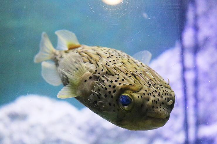 2月に魚津沖で捕獲されたハリセンボン=魚津水族館