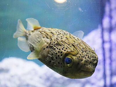 ハリセンボン寒さ苦手なのに富山湾で越冬か 2月に捕獲、魚津水族館で展示