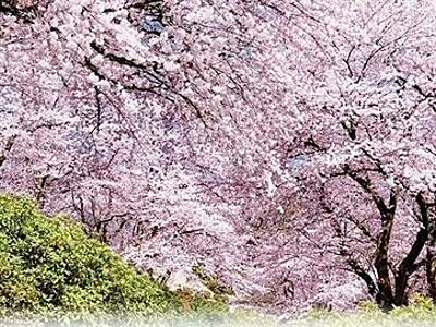 西山公園の桜、全国に発信へ 福井県の鯖江観光協会がポスター