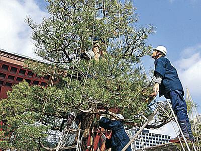 木々が身軽に、春本番 金沢市内、雪づり外し始まる