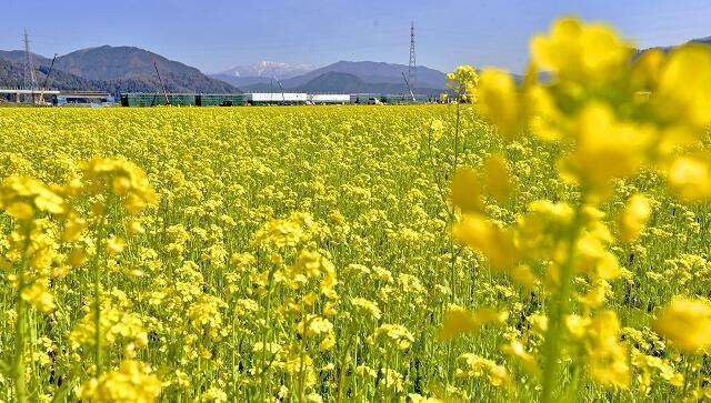 一面に咲き誇る菜の花=3月9日、鯖江市舟枝町