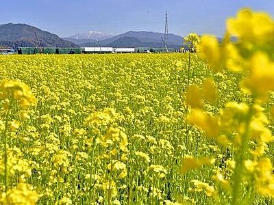 菜の花畑はや黄色 鯖江、暖冬で1カ月早く