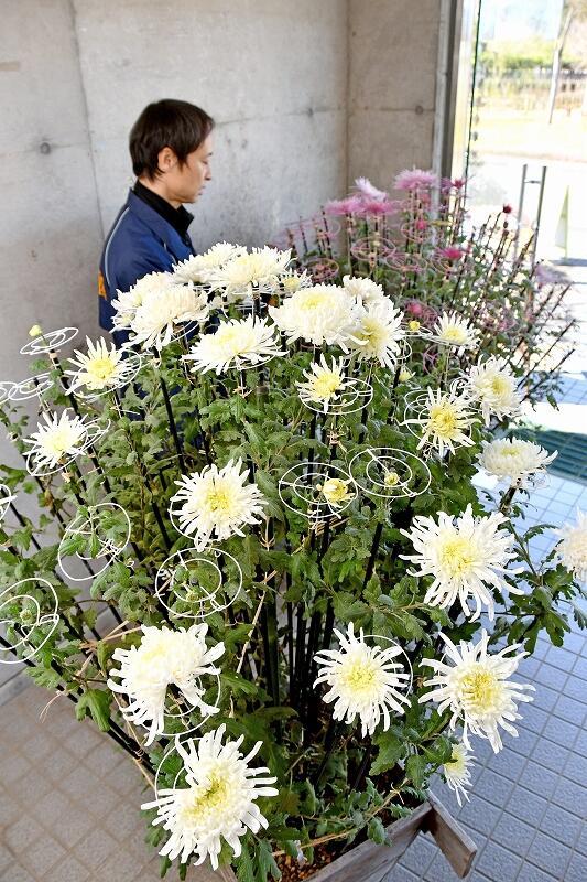 開花調整で春に花を咲かせたキクの花=3月12日、福井県越前市余川町の万葉菊花園