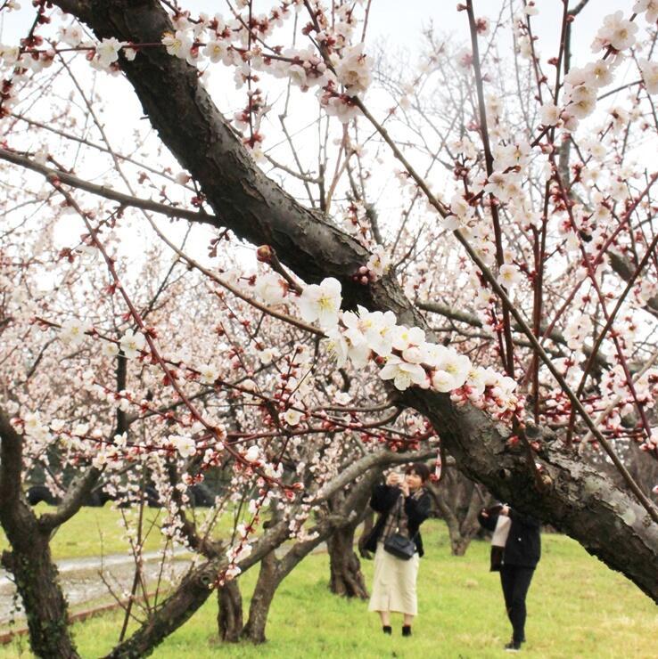 見頃を迎えた梅の花=11日、佐渡市相川羽田村