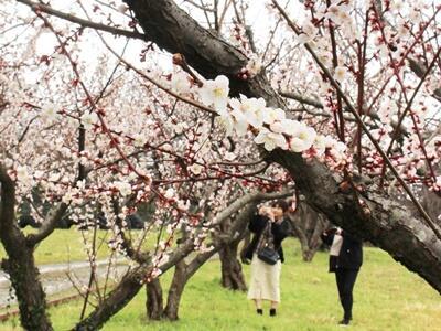 梅の香 春を告げ 佐渡・相川 城址公園で見頃