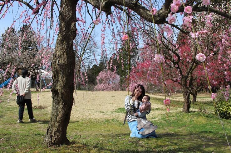 例年より早く見頃を迎えた梅の花を楽しめる「梅林公園」=13日、田上町