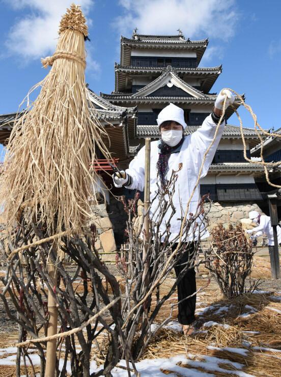 ボタンの木に巻き付けたわらを外す松本古城会の会員