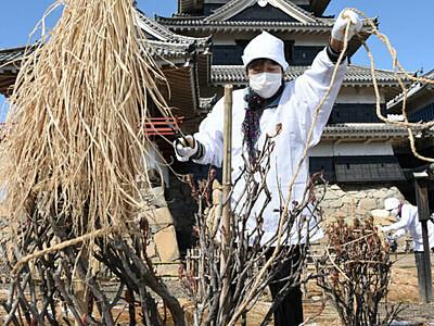 松本城の春「冬囲い」に別れ 手際良く取り外し作業